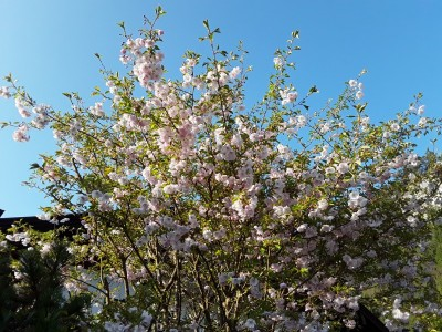 Blühender Baum auf der Streuobstwiese Bischofswiesen