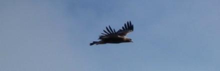 Adler im Nationalpark Berchtesgaden und im Adlergehege am Obersalzberg