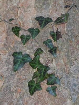 Efeu im Sumpfwald Aschauerweiher