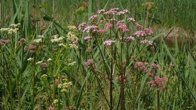 Baldrianpflanzen beim Naturbad Aschauerweiher