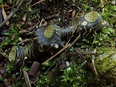 Die beim Abwelken entstehenden Narben am Wurzelstock ähneln Siegeln