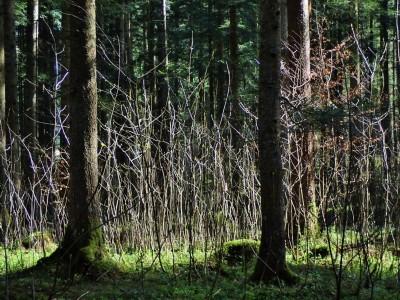 Kleine Lichtung im Rostwald mit Naturverjüngung