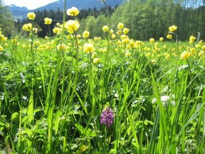 Trollblumen im Kalkflachmoor Aschauerweiher