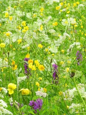 Bunte Blumen auf der Feuchtwiese am Aschauerweiher
