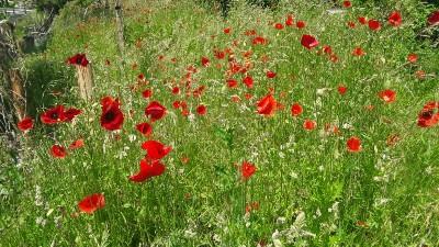 Mohnblumen im Naturgarten Bischofswiesen