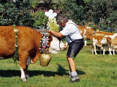 Prächtig geschmückte Kühe beim Almabtrieb in Berchtesgaden